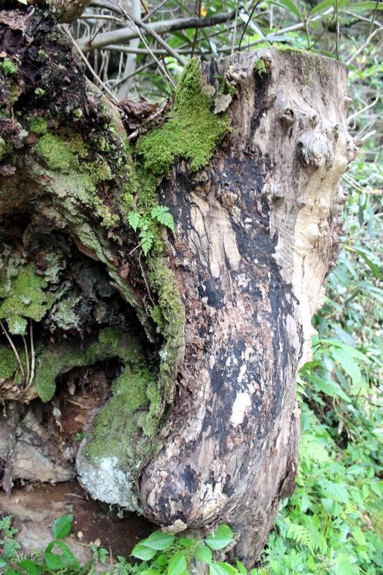 Downed Tree Moss